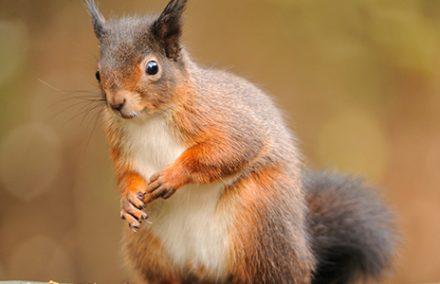red-squirrel-sitting-on-a-garden-fence-in-lochgoilhead