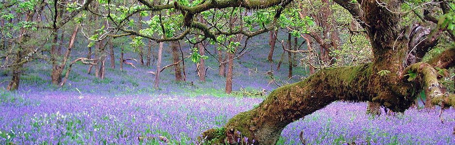 bluebells-and-trees