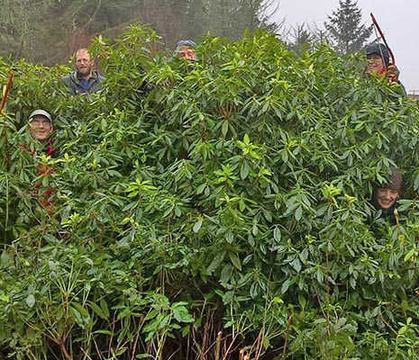 conservation-team-from-the-national-park-peeking-their-heads-through-thick-rhododendron-bush--invasive-species-two-of-them-are-holding-saws