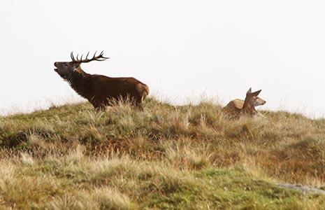 two-deer-one-with-antlers-standing-with-open-mouth-the-other-female-is-sitting-down-in-grass