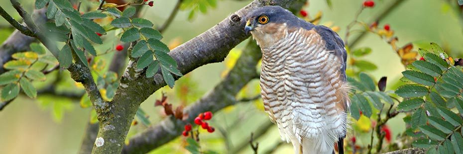 beautiful-sparrowhawk-bird-bluish-grey-with-white-chest-and-orange-eyes-sitting-on-branch-in-rowan-tree-red-berry-like-fruits-visible-around-in-the-tree