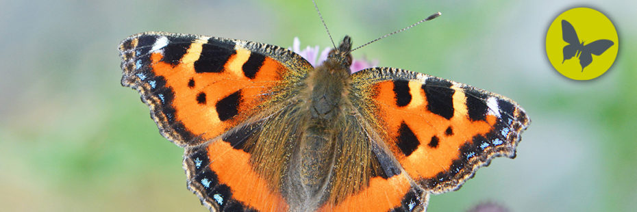 Small Tortoiseshell Butterfly (Latin Aglais urticae) Photo by Rob Trevis-Smith